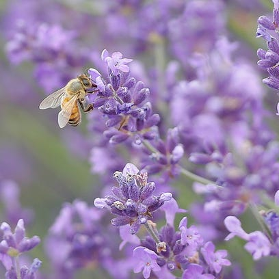 Bees are plentiful on the plants at Fragrant Isle lavender