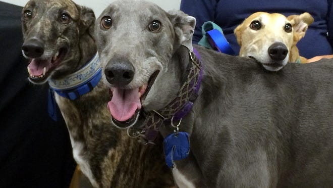 Honey, Tony, and Shondra are adopted greyhounds from the Greyhound Pets of America Daytona Beach chapter. All three are former racing dogs. NEWS-TRIBUNE/PATRICK GROVES