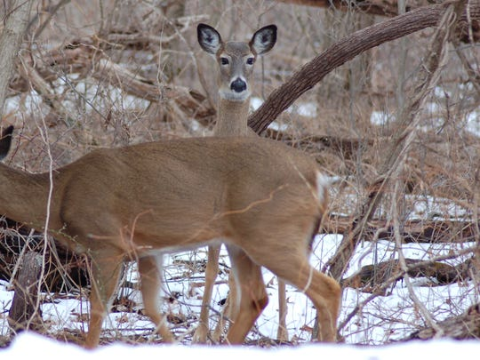 Deer often seek refuge in areas fairly close to roads.