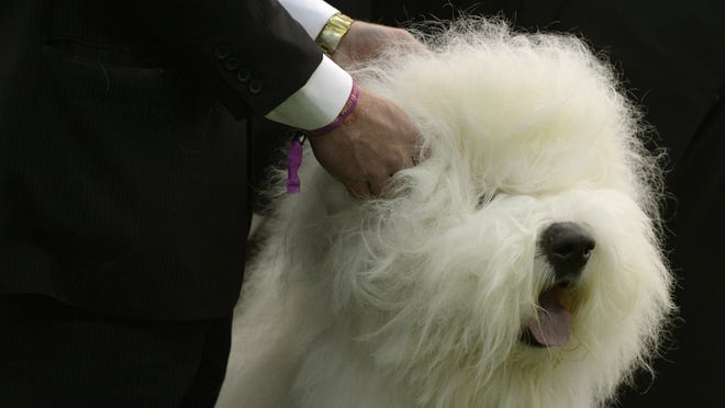 An old English sheepdog in the judging area at Pier 92 and 94 in New York City on the first day of competition at the 139th Annual Westminster Kennel Club Dog Show on Monday.