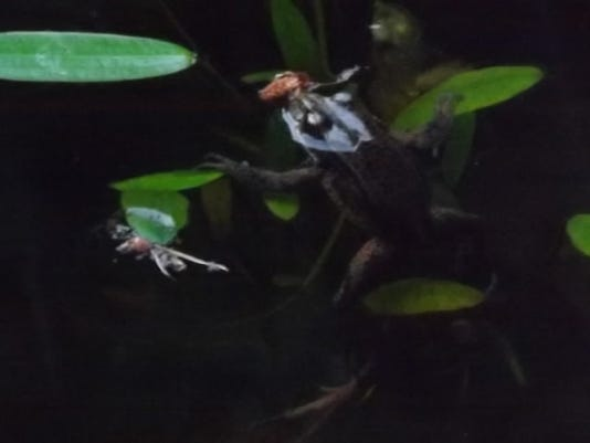"""""""Frog in the moonlight"""" by Judy Dicksion"""