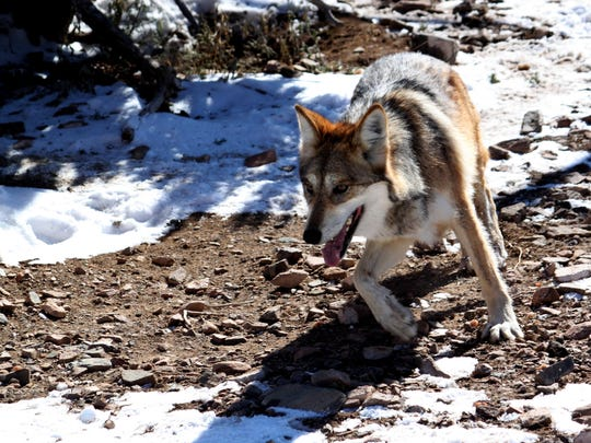 A female Mexican gray wolf tries to avoid being captured