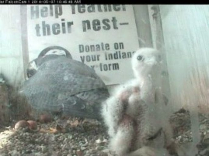 Schatzi, Downtown Indy's baby peregrine falcon hatched in spring 2014. The baby falcon was found dead by a Downtown parking garage attendant on June 12, 2014.
