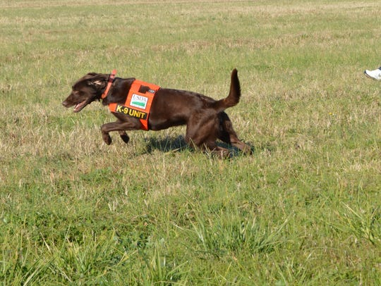 A trained canine runs through the field at Blackwater