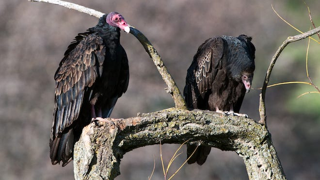 An adult turkey vulture, left, and a juvenile one sit on a branch. Dead branches and trees provide roosting sites for large birds like these turkey vultures.