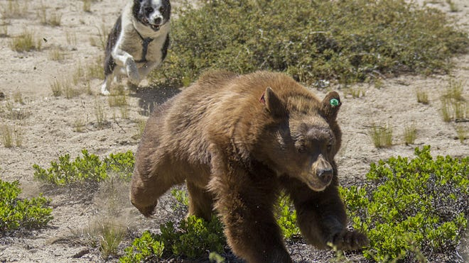 Rooster, a Karelian Bear Dog owned by NDOW biologist Carl Lackey, chases a just-released black bear as part of an effort to discourage the bear from returning to the area in which it was captured. Photo by John Humphrey/Provided by NDOW