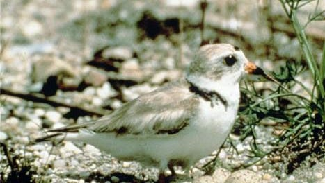 An adult piping plover stands over its nest of eggs. Plovers became part of the protected species under the Endangered Species Act in 1986.
