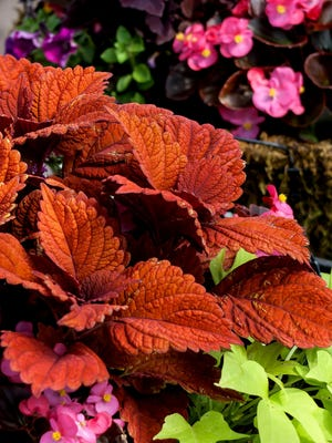 Inferno coleus looks stunning in the landscape or mixed baskets and containers.