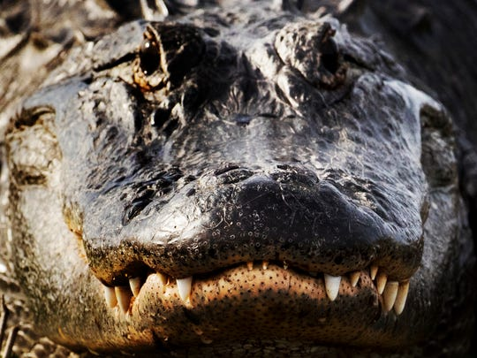 An American alligator gathers up warmth along the banks of the Kissimmee River in early February.