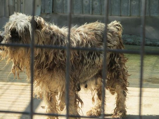 Even after appearing in two of the Humane Society's prior reports for underweight, sick and/or injured dogs who were found at her kennel four years in a row, Marilyn Shepherd of Ava was found with additional violations in August 2017.  One photo showed a dog with matted fur that was heavily soiled with a brown substance that resembled mud or excrement.