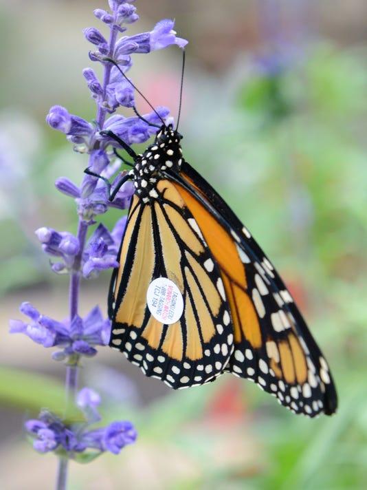 monarchs 2.JPG