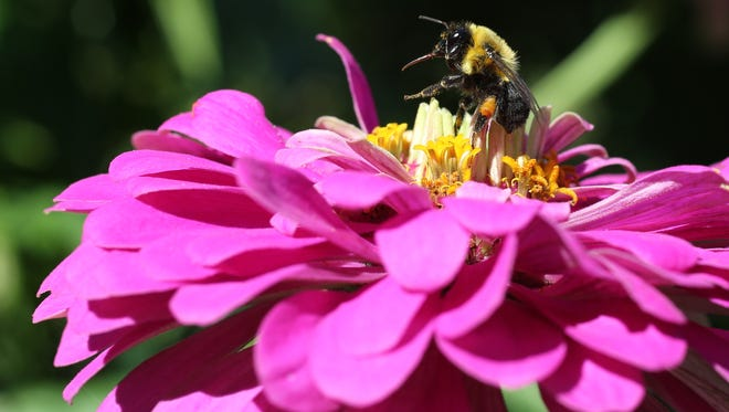 A bumblebee hovers over a zinnia as the Nyack Community Garden held their annual contest July 23, 2015.  Five judges judged over 50 plots in five categories including Best Vegetable, Best Flowers, Best Maintained, Most Creative and Best Overall. This is 35th year that the contest was held.