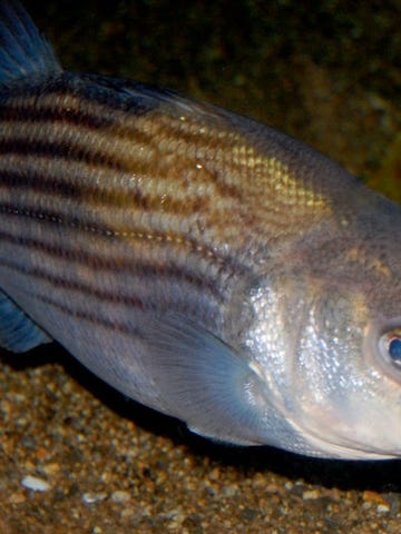 A striped bass.