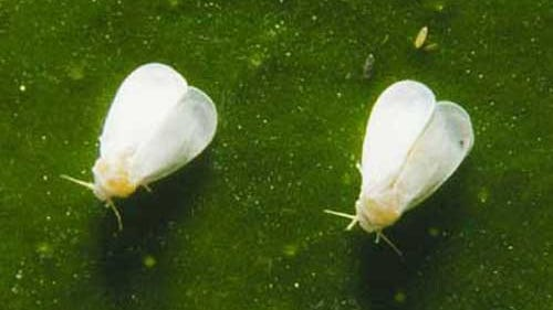 The damaging ficus whitefly population in the Homestead and Miami areas has been significantly reduced by the multipronged attacks of beneficial insect populations.