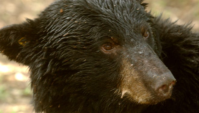 Game officials estimate there are more than 350 black bears in Missouri, most in the southern part of the state.