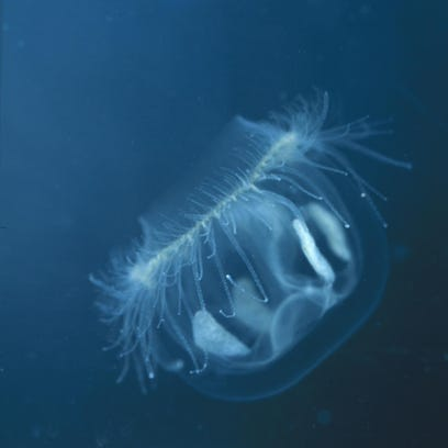 Stings from a freshwater jellyfish pose no threat to humans.
