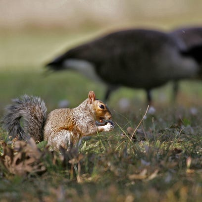 A squirrel enjoys a nut with the company of Canada