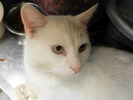 Cunningham is a 1-year-old, neutered, all-white, male