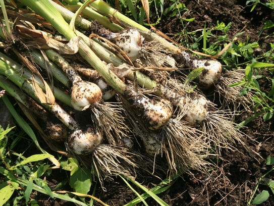 Fresh picked French Rose Garlic sits on the field