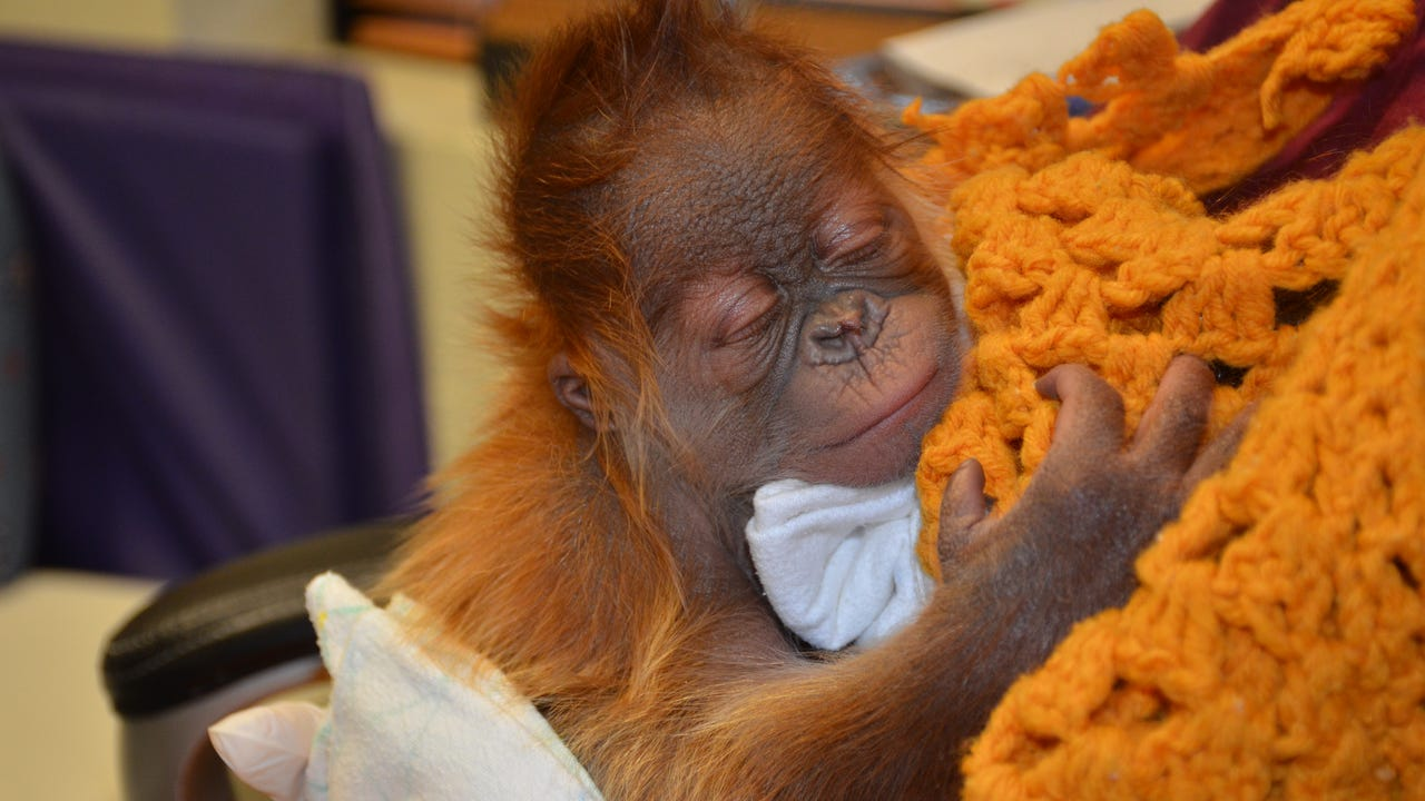 This baby orangutan and his mother survived a rare C-section birth. The two are like best buds who love to cuddle and play together in their home at the Memphis Zoo.