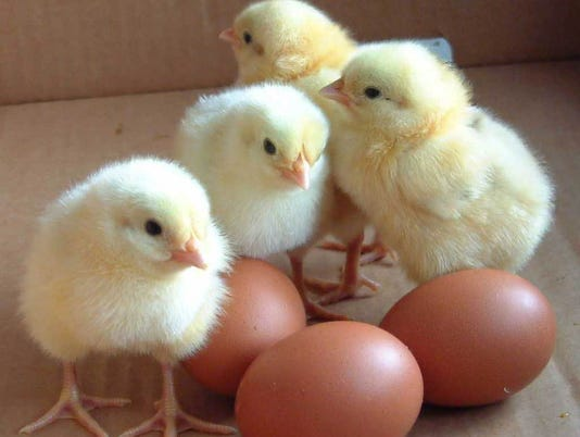 Baby chicks photo