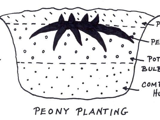 Peony Planting