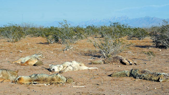 Coyote remains dumped in the desert outside Las Cruces from a coyote killing contest, shown in January 2015.