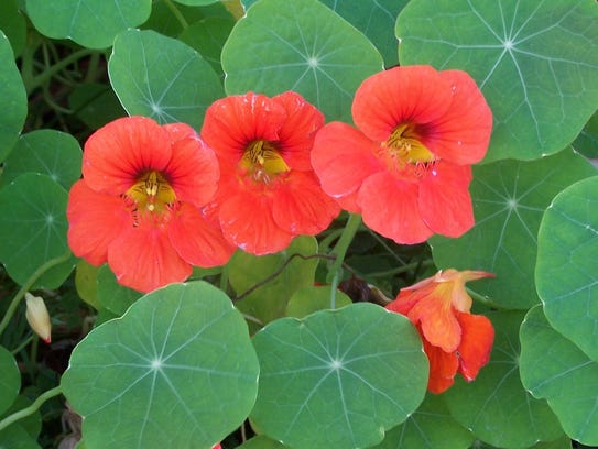 Nasturtium blossoms, which are suitable for salads,