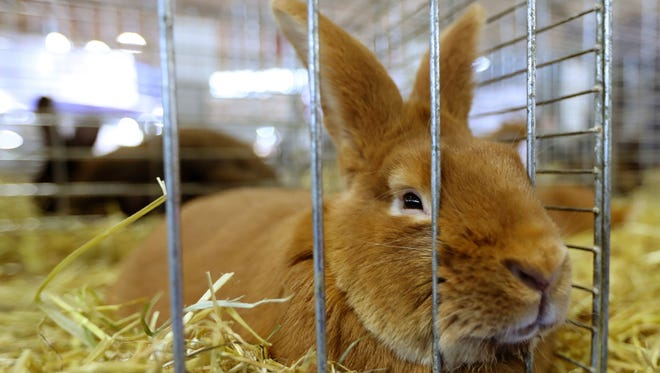 A rabbit is pictured on Feb. 27, 2017 at the Agriculture Fair in Paris.