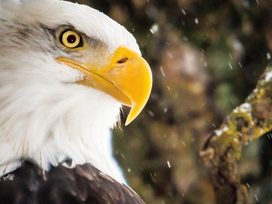 A snowy day saw a close-up view of an eagle. Eagle eyes have a million light-sensitive cells per square millimeter, five times a human's eye. Eagles also see five primary colors to a human's three.