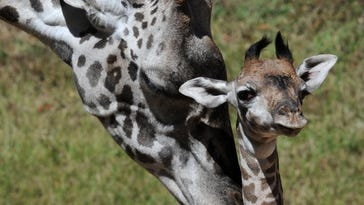 Zoo's giraffe family to grow this summer