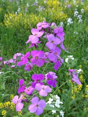These sweet rockets bloomed in late May at Whitewater State Park. They're now blooming profusely in Central Minnesota.
