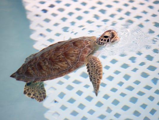 Sweet Pea turtle