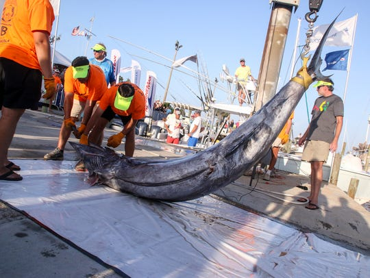 The dock crew hoists a 771.4 pound blue marlin caught