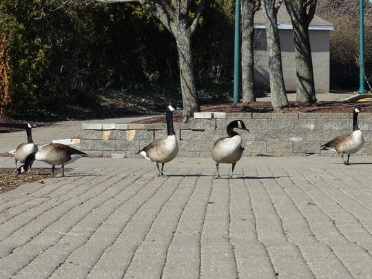 ... and these geese walking along the Hudson River