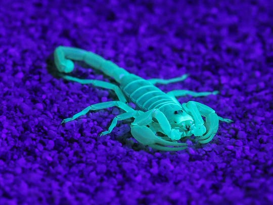 A scorpion is illuminated by ultraviolet light during