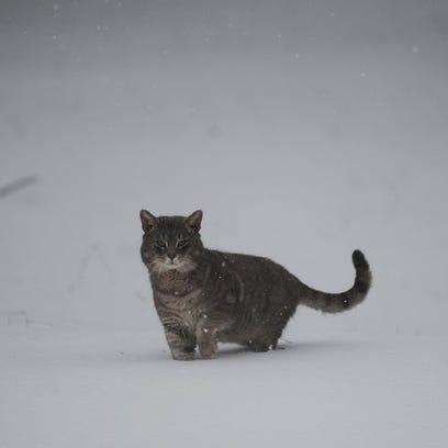A cat walks through the snow in Cape Chalres, Va. near