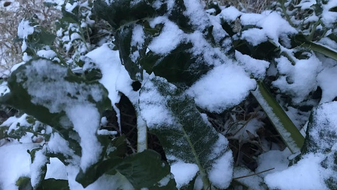 Snow that fell overnight Oct. 25 and 26 clings to unpicked Swiss chard in Newton. Several school districts called off school following the storm, with more snow and winter weather forecast for Monday and Tuesday.