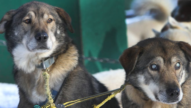 In this 2013 photo, sled dogs Poncho, left, and his blind brother Gonzo are hooked up for a run at the Muddy Paw Sled Dog Kennel, in Jefferson, New Hampshire.
