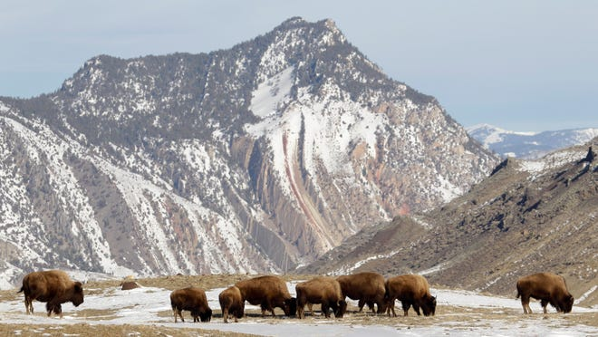 Bison population in Yellowstone National Park saw a 12 percent decrease in 2017, according to the park's official bison count study.