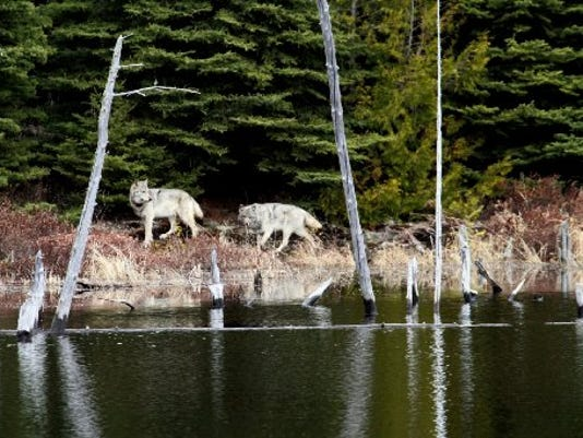 Only 3 Wolves Left On Michigan S Isle Royale