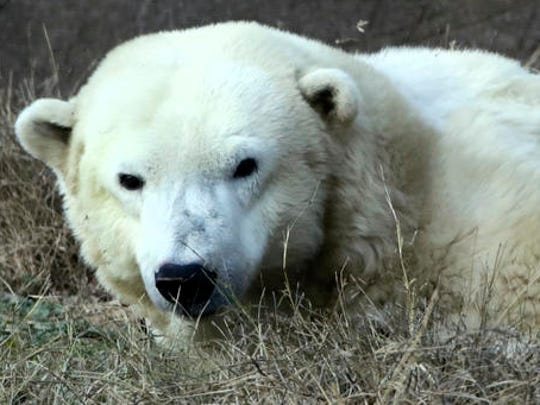 FILE - In this Dec. 16, 2016 file photo, Coldilocks the polar bear looks up from a nap at the Philadelphia Zoo in Philadelphia. Coldilocks, who celebrated her 36th birthday last week, is considered the oldest polar bear in the U.S.  The bears' typical lifespan in captivity is 23 years.