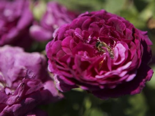 Learn to care for roses Saturday in Camarillo.