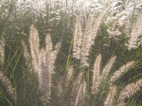 This Aug. 19, 2008 photo of backlit grasses taken at Fordhook Farm in Doylestown, Penn., shows how fine-textured plants can accentuate gardens at certain times of the day. Color is primary in garden planning but visual texture is an important design fundamental adding interest.