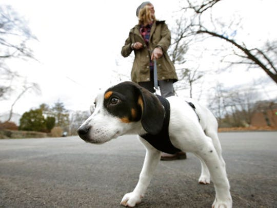 In this Wednesday, March 29, 2017 photo Kate Fredette, of Waltham, Mass., walks the family dog, Roscoe, near their home in Waltham. The Fredette family found the dog through the online platform How I Met My Dog, that is designed to match humans with dogs based on what really matters: personality, lifestyle and behavior.