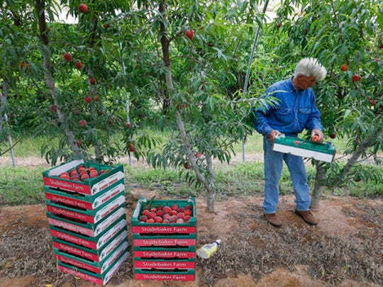 """Farmer Russ Studebaker places peaches into containers which he sells at his farm in Stonewall, Texas on Thursday, April 20, 2017. Winter pretty much stood Central Texas up this year, and the evidence will soon be showing in this summer's lackluster crop of Hill Country peaches. Lacking an adequate number of """"chill hours,"""" what is budding came out early, and the varieties that tend to be ready later in the season pretty much took the season off. """"I'm just glad we have some peaches,"""" longtime peach farmer Russ Studebaker said, estimating about a 30 percent crop. Peaches in general will be in high demand this year, as the cold weather that missed the Texas orchards hit the Georgia and Carolinas peach crops hard."""