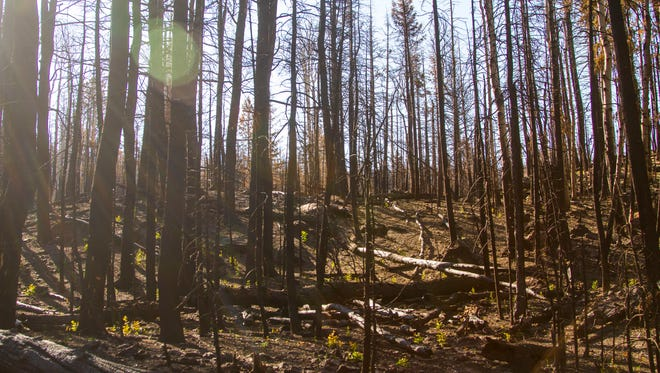 Saplings begin to sprout in the Yankee Meadows area after being reseeded by the Dixie National Forest Service after the Brian Head fire destroyed much of the vegetation in the area, August 30, 2017.