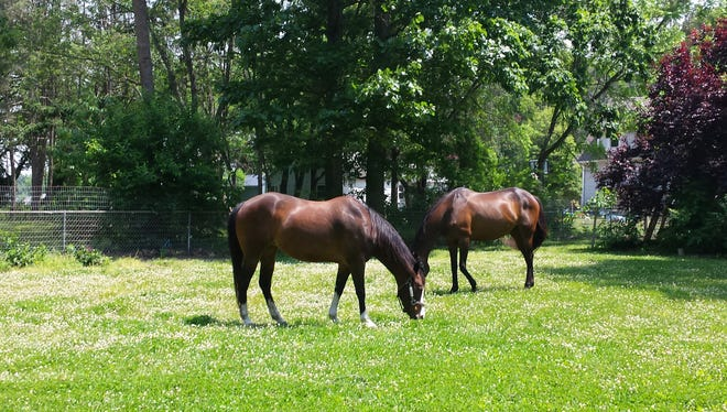 Lisa McDonald's horses, Bay Model, a 14-year-old American paint, and Key Adage, a 17-year-old retired registered thoroughbred race horse, graze in their pasture.