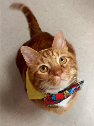 This photo provided by the HEAL Veterinary Hospital & Pet Rehabilitation shows Skinny, who when found wandering near Dallas in 2012 weighed in at 41 pounds.  Dr. Brittney Barton says the orange tabby she adopted in 2013 has slimmed to 19 pounds with exercise and a special diet.