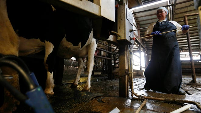 Rosalva Hernandez loads the cows into the milkers Aug. 22, 2015, at the Maassen Dairy Farm in Maurice, Iowa.